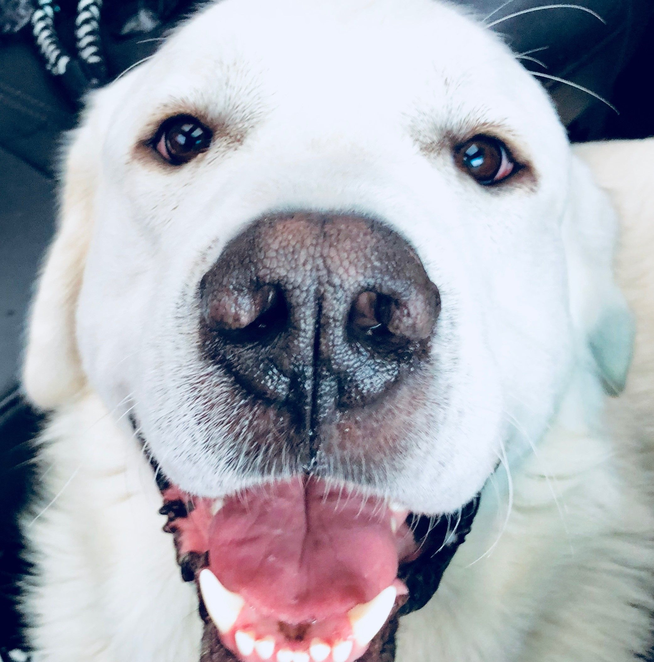Great Pyrenees dog for Adoption in Garland, TX. ADN803062