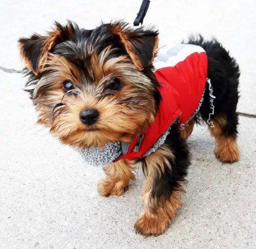 Îți dorești să îți iei un câine ca animal de companie? Iată ce rasă ți s-ar potrivi, în funcție de zodia ta:  1. Berbec – Australian Shepherd    Un câine pentru turme din fire, ciobăneștii australieni sunt hotărâți,
