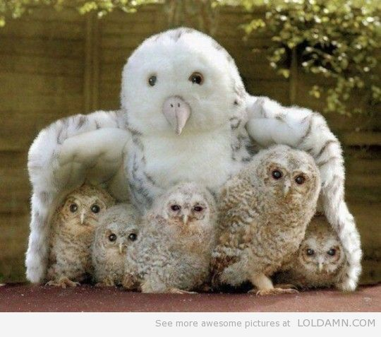 They think it's their mom.-Baby owls
