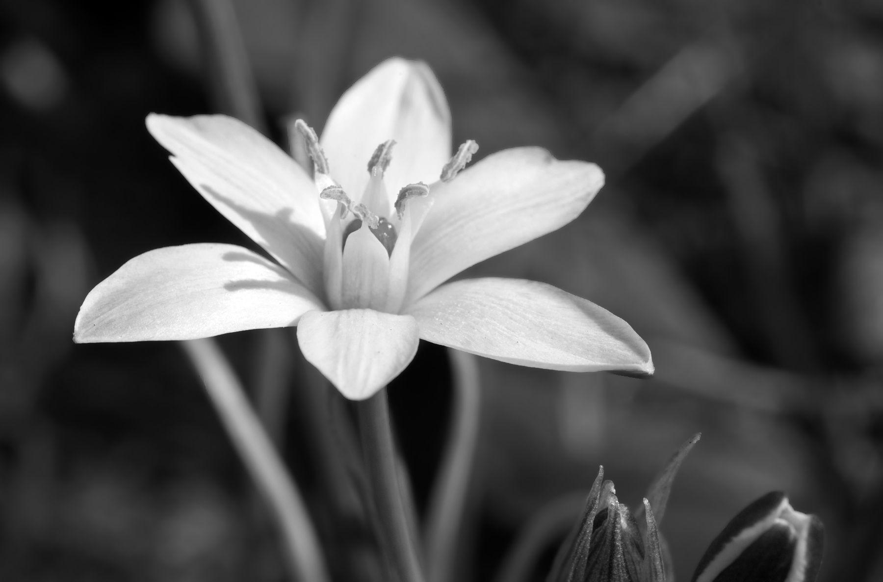 art prints for home and office - star-of-bethlehem flower photography art print in black & white