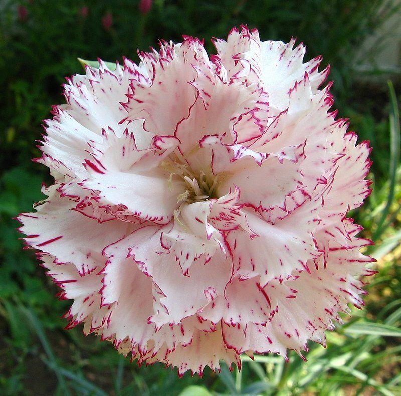 Plantfiles Pictures Dianthus Species Carnation Clove Pink Border Carnation Dianthus Caryophyllus By Dianthus Caryophyllus Flower Seeds Garden Flower Beds