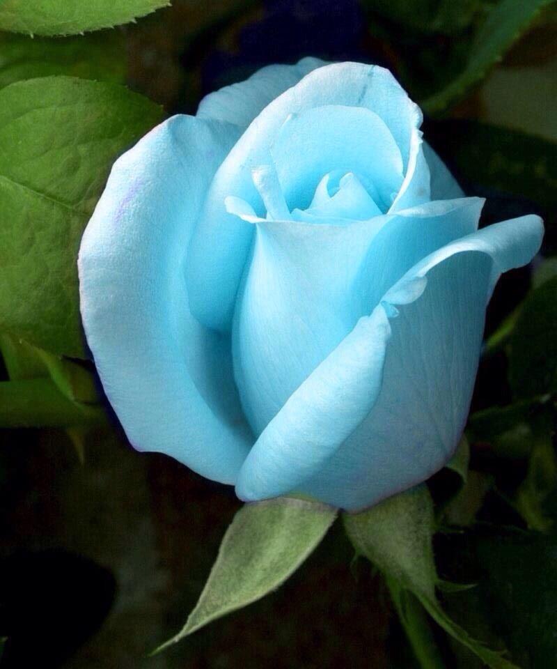 Baby blue rose | Gardening | Pinterest