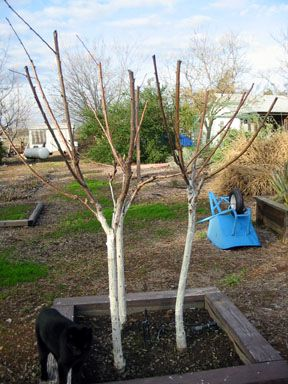 How To Plant Bare Root Fruit Trees Bringing Overgrown Fruit Trees Down To Size The Selection And Plantin Fruit Trees In Containers Fruit Trees Trees To Plant