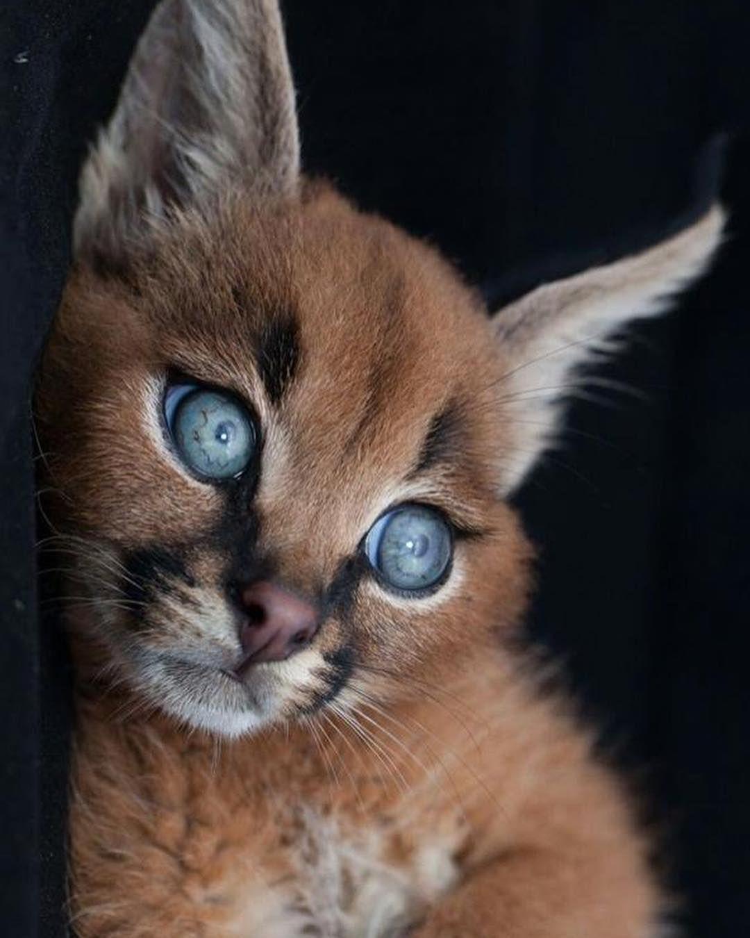 Caracal cat 👁👆 Swipe By Fiona Ayerst Animals