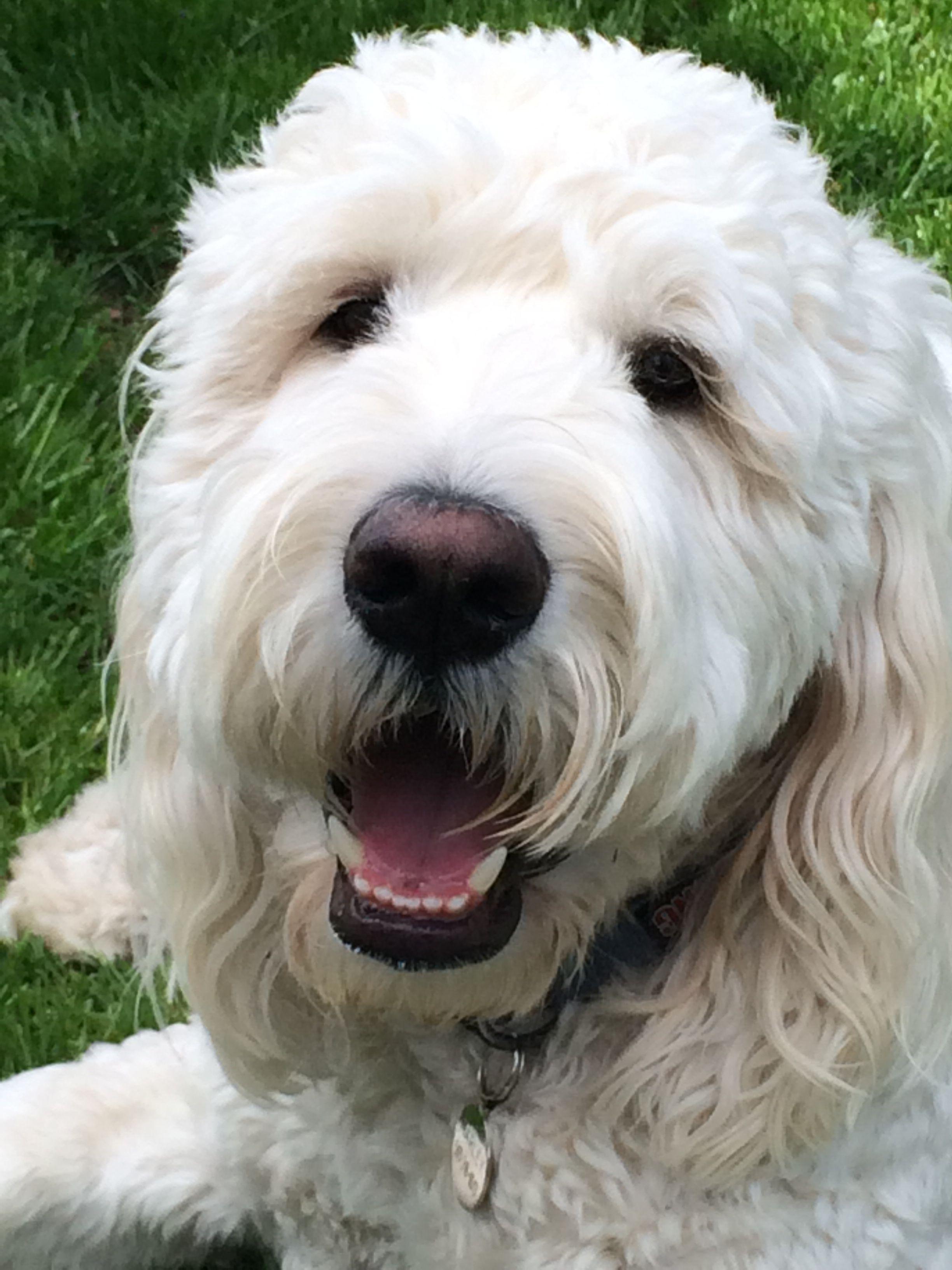 Cream Goldendoodle Marley Goldendoodle Felt Dogs Golden