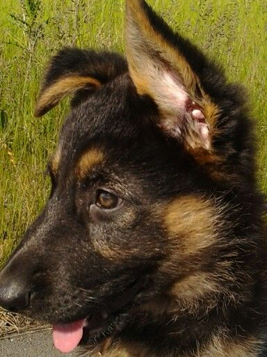 GSD Puppy (With images) Gsd puppies, Puppies, German