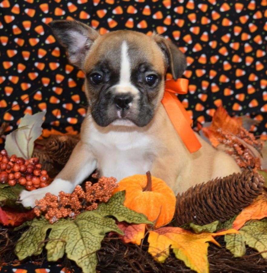 Fawn Male French Bulldog Puppy frenchieforsale