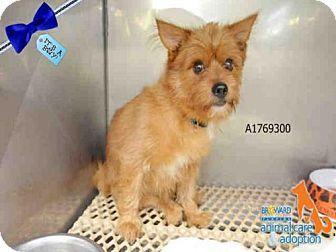 Fort Lauderdale Fl Norwich Terrier Mix Meet A1769300 A Dog