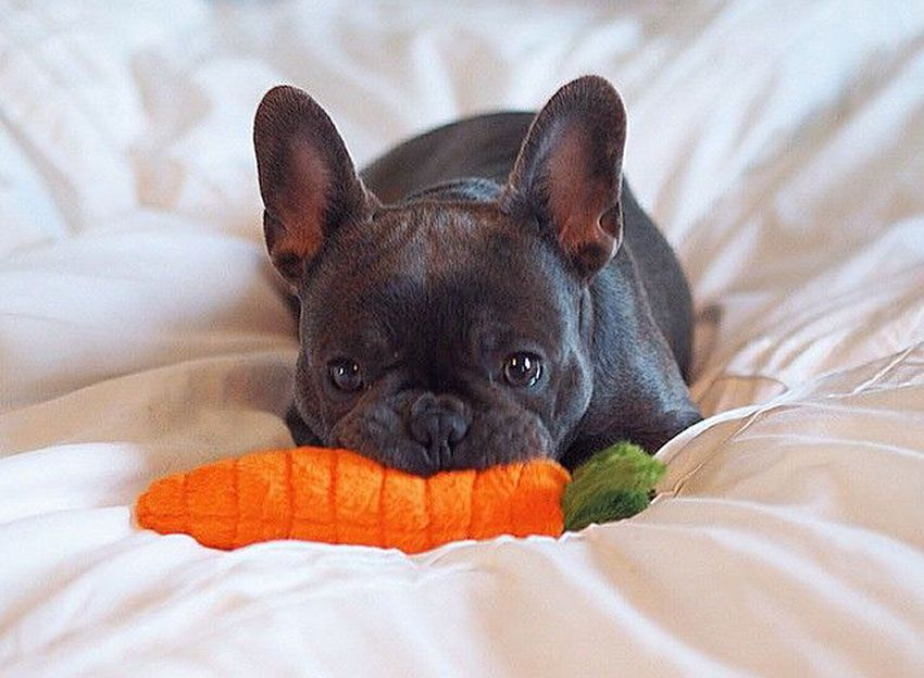 How to tell you are a French Bulldog owner • French