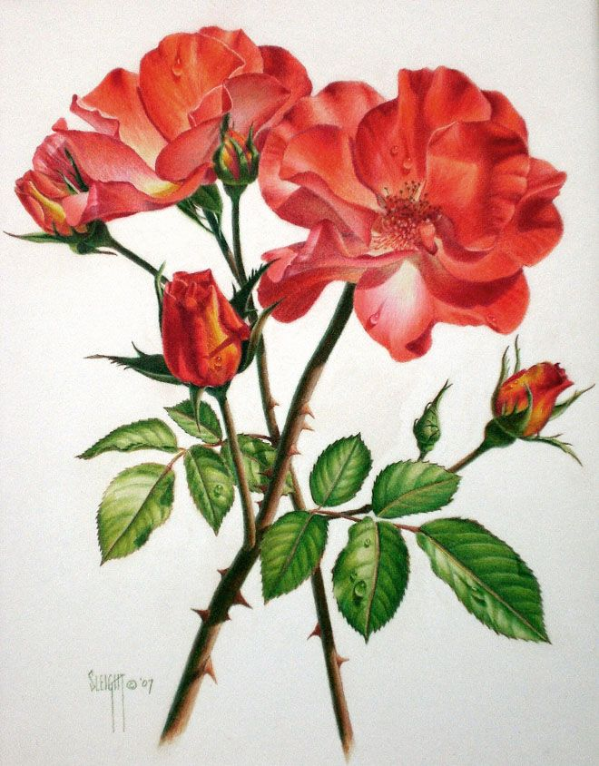 Rose flower drawings with color for Pretty rose drawings