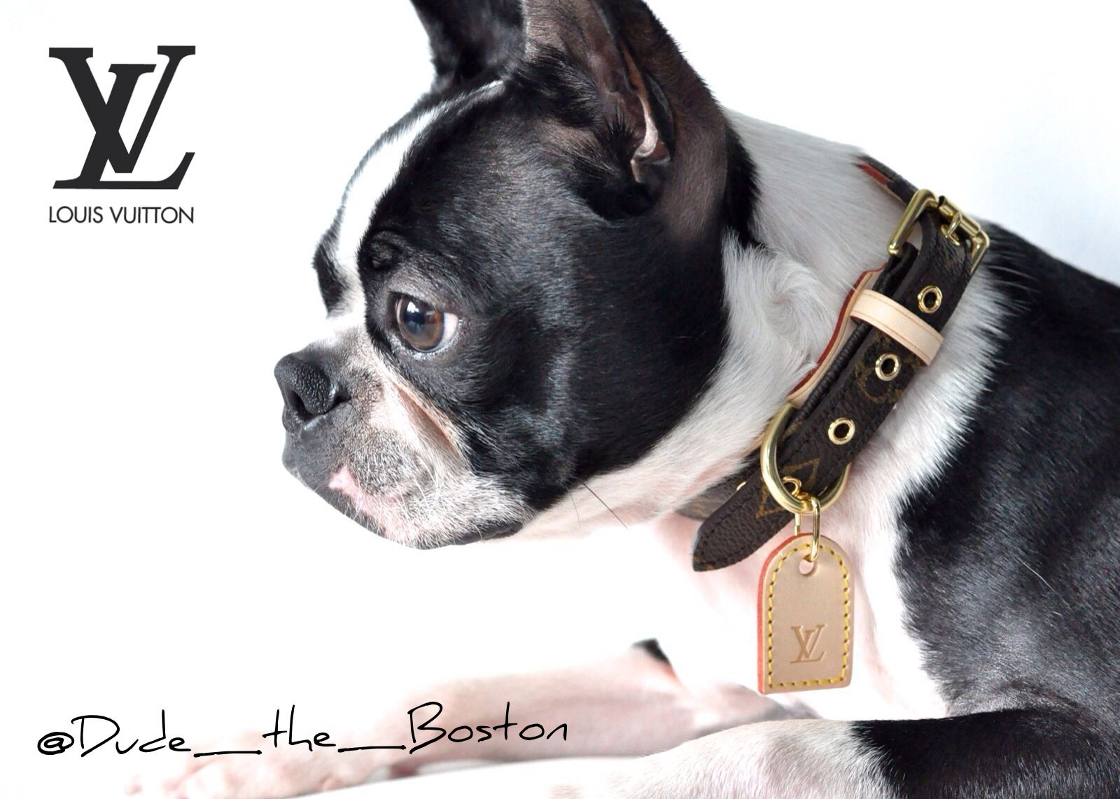 Stylin And Sporting A Louis Vuitton Dog Collar Louis