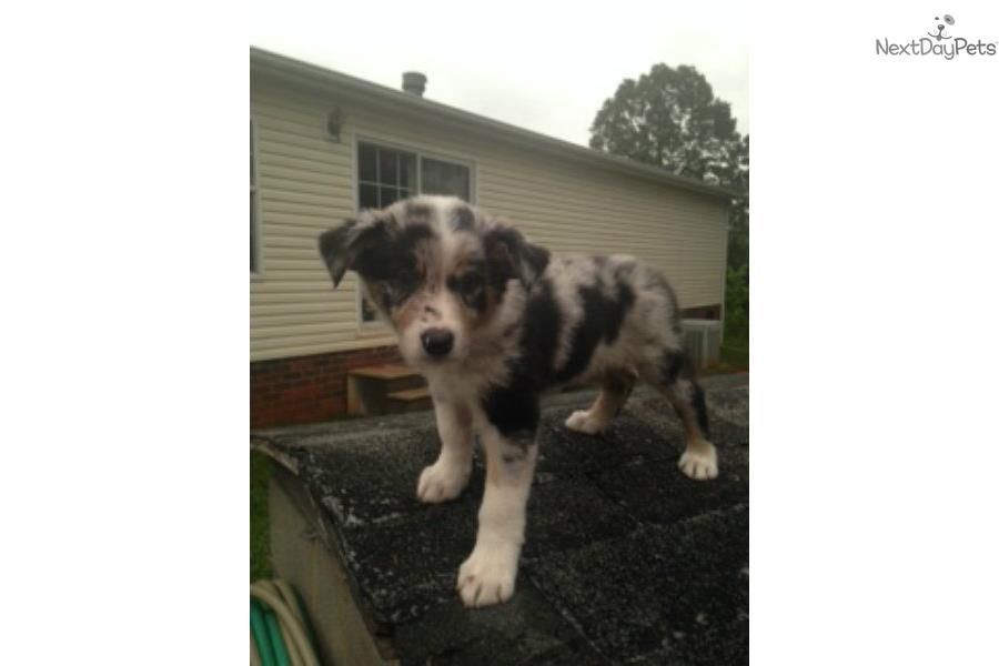 Meet Lila A Cute Border Collie Puppy For Sale For 500 Lila Border Collie Puppies Collie Puppies Border Collies For Sale