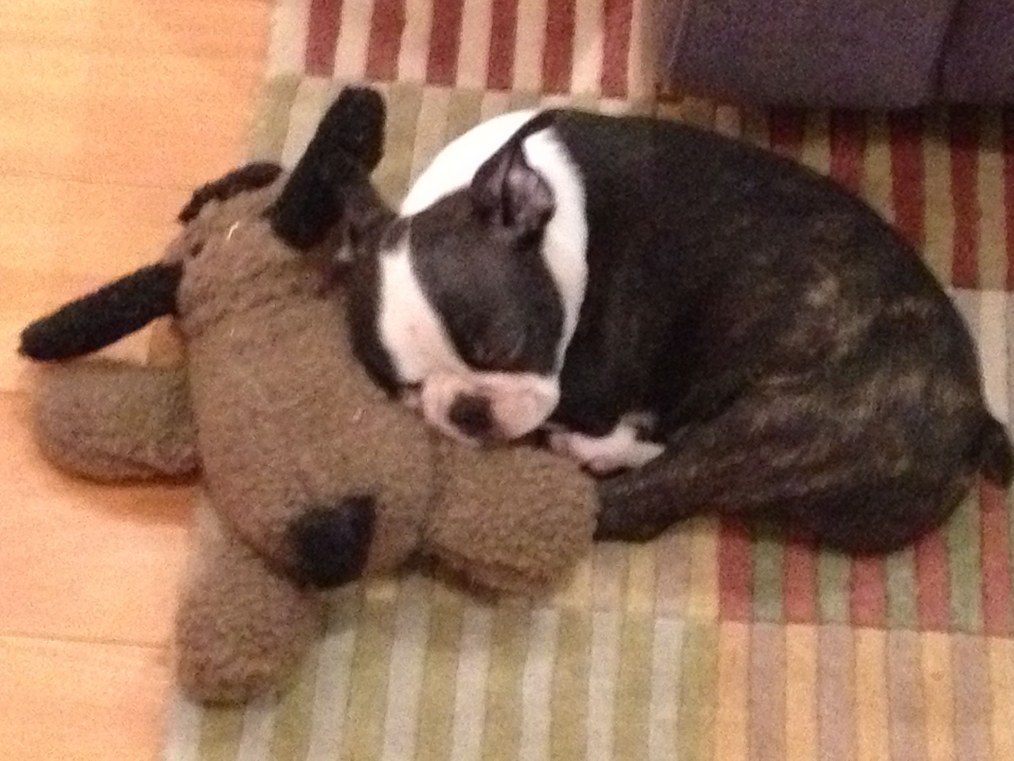All Tuckered Out After A Big Day Boston Terrier Terrier Pics