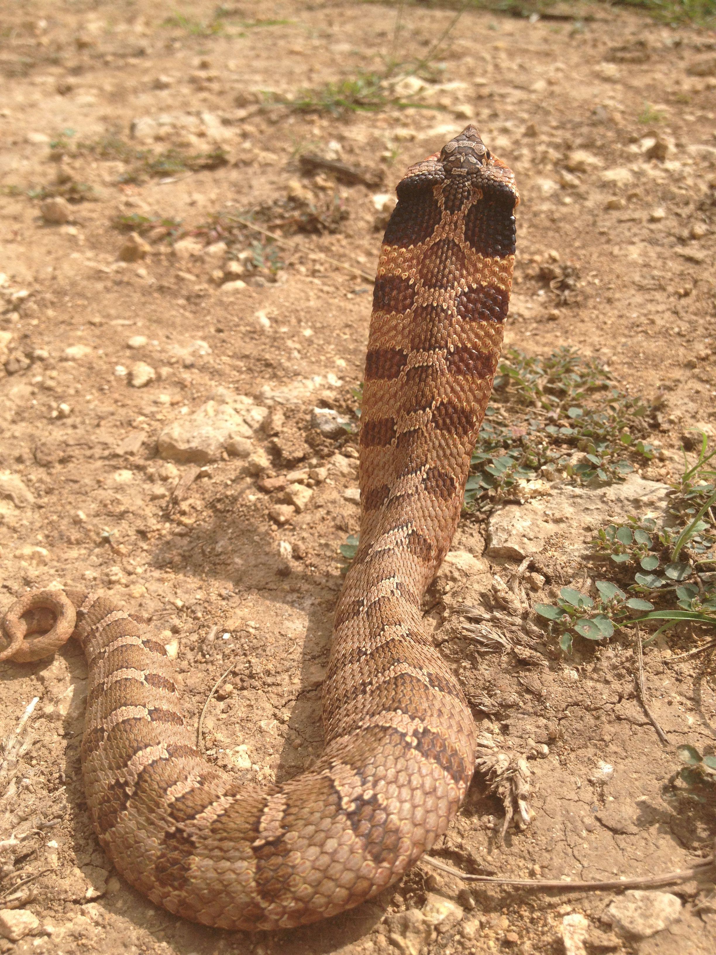Pin By Enrique Roman On Reptiles Amphibians Hognose Snake Scary Snakes Snake