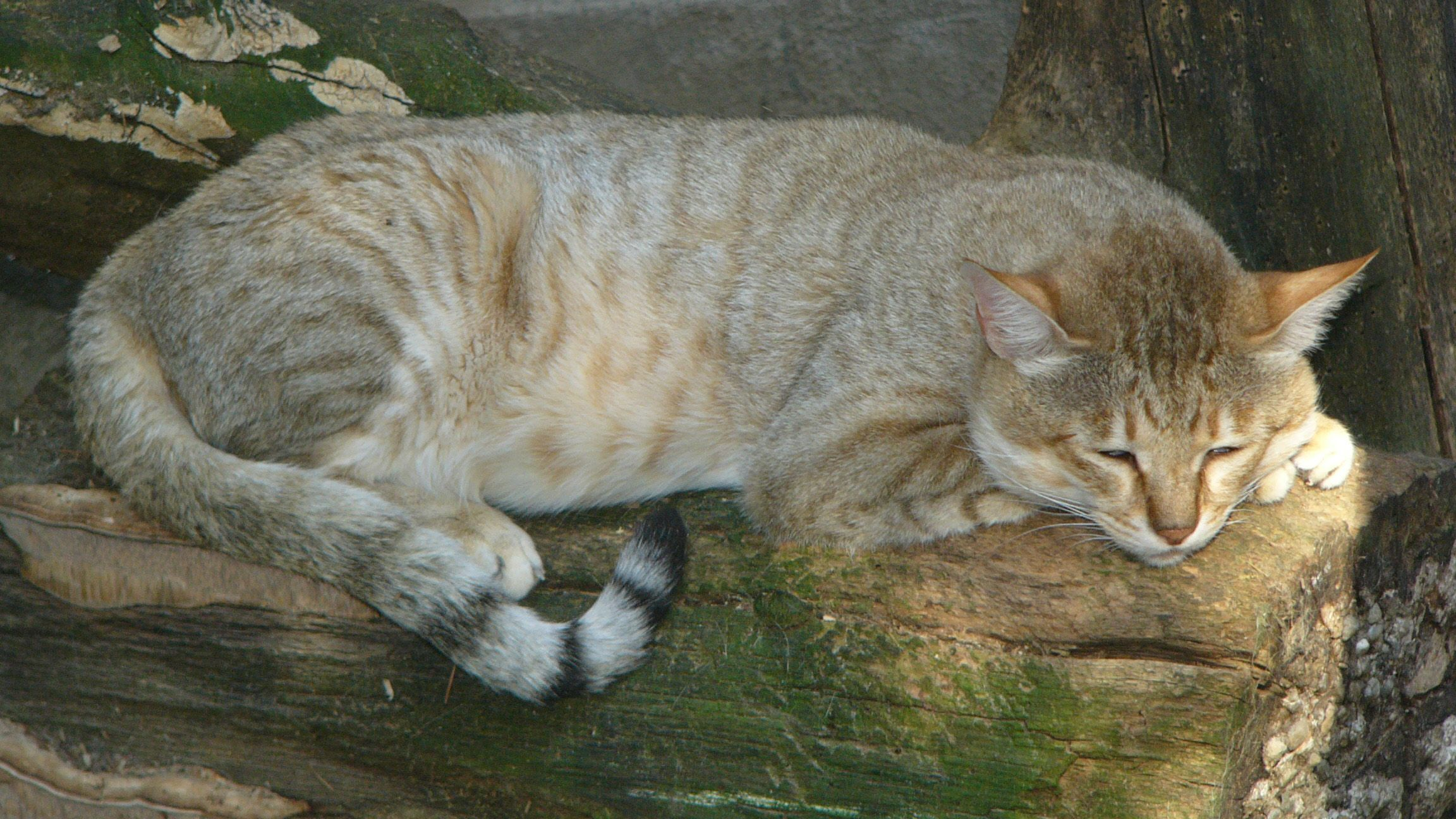 Arabian wildcat Wikipedia, the free encyclopedia Chat