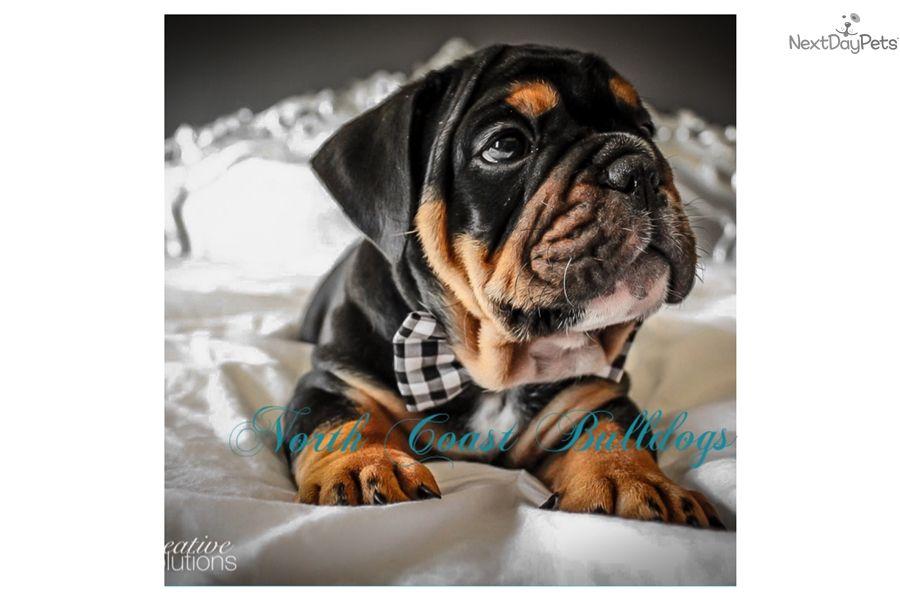 English bulldog puppy for sale near minneapolis st paul
