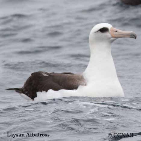 Birds of North America Life Habitat  Pictures of the Laysan Albatross Latin Na Birds of North America Life Habitat  Pictures of the Laysan Albatross Latin Na