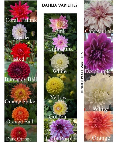 Different Types Of Beautiful Dahlias I Ve Had This Chart For A While And Refer To It Regularly Have Fun Choosing