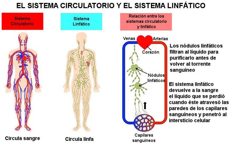 sistema circulatorio sanguíneo y linfatico
