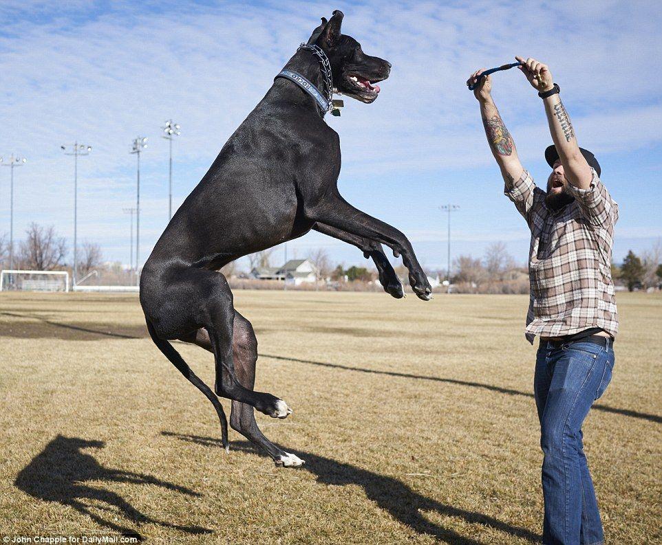 World S Tallest Dog Meet Great Dane Rocko 7 Feet Tall And 167