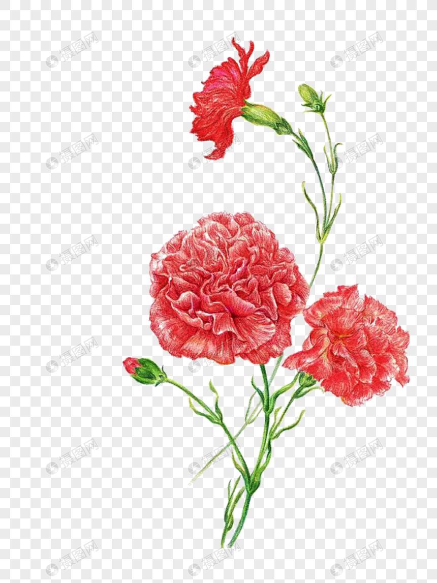 Carnation Carnation Carnation Flower Hand Painted Carnation Cartoon Carnation Flower Material Carnation Material Web App Design Carnations Template Design