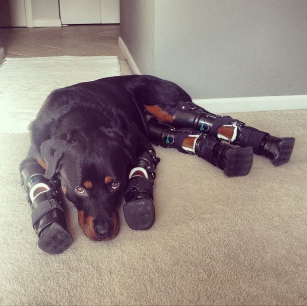 The Chemistry Of 3d Printing Dogs Rottweiler Puppies Rottweiler