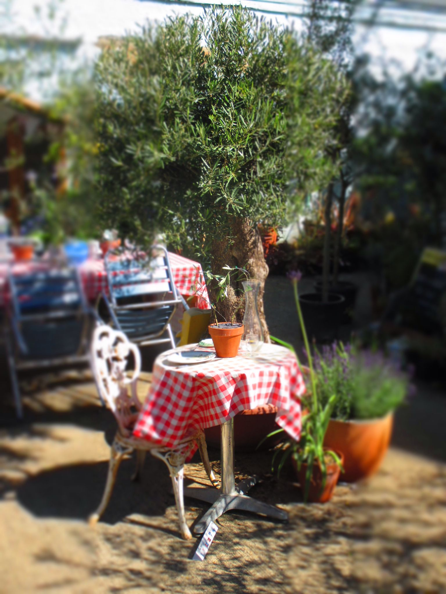 Create a Mediterranean garden with an Olive Tree. Free