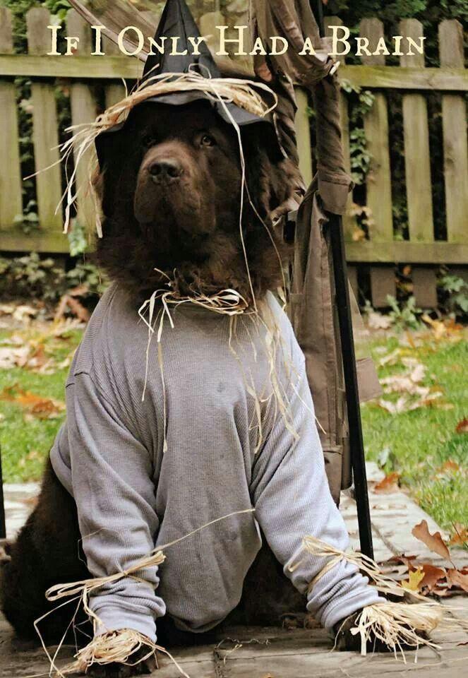 Leroy Via My Brown Newfies Newfoundland Halloween Costume Wizard