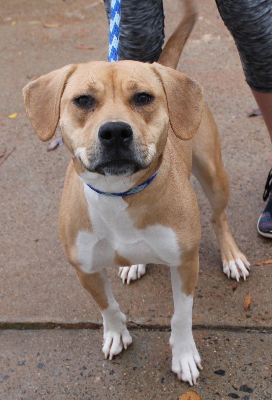 Labbe dog for Adoption in Kennesaw GA ADN on PuppyFinder
