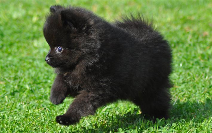 壁紙をダウンロードする 黒のスピッツ, 子犬, 黒ポメラニアン, 犬, ポメラニアン, かわいい動物たち, スピッツ