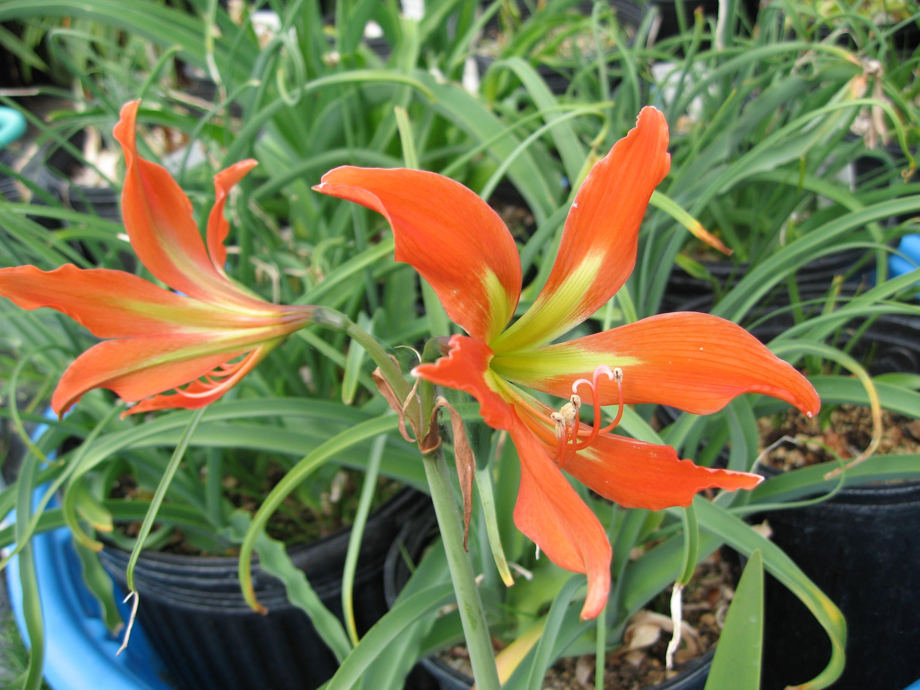 H 5705 Hippeastrum Blossfeldiae Each 2500 Beautiful Tangerine