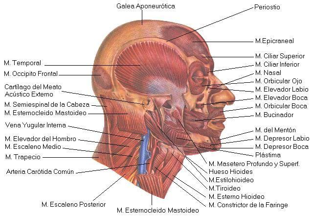 Músculos Cara lateral (referencia Google) | Cuerpo Humano ...