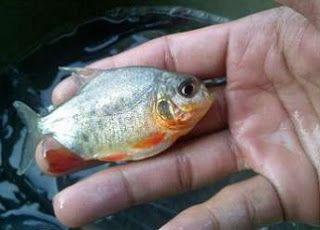 Cara Budidaya Ikan Bawal Dalam Kolam Terpal Bagi Pemula Supaya Berhasil Terpal Ikan Kolam
