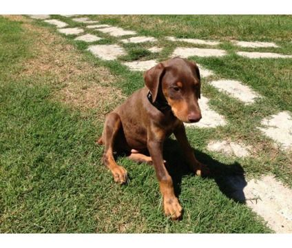 Doberman Pinscher Brown Brown Doberman Puppy Is A Brown Male