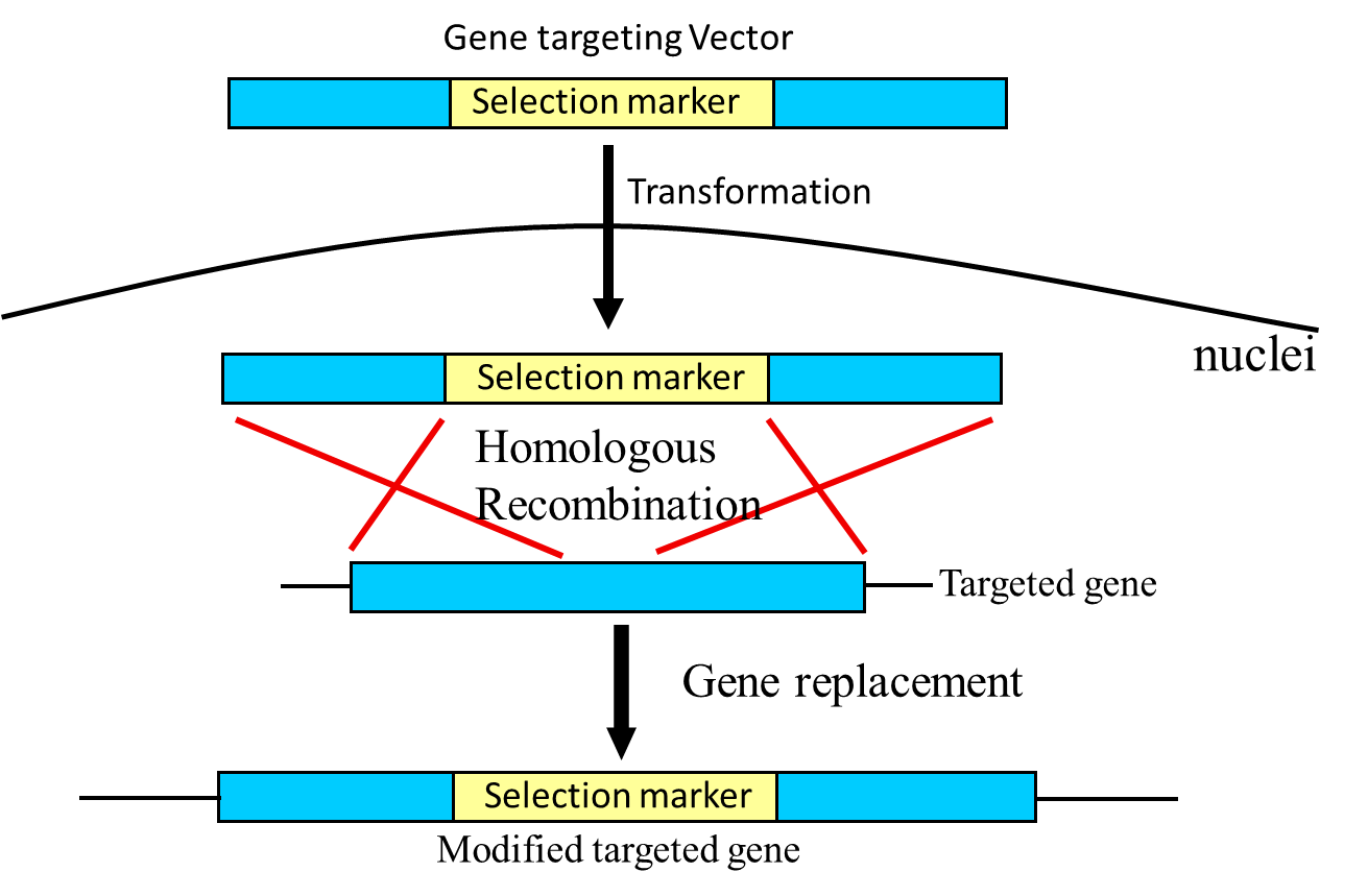 small resolution of schematic diagram of principle of gene targeting