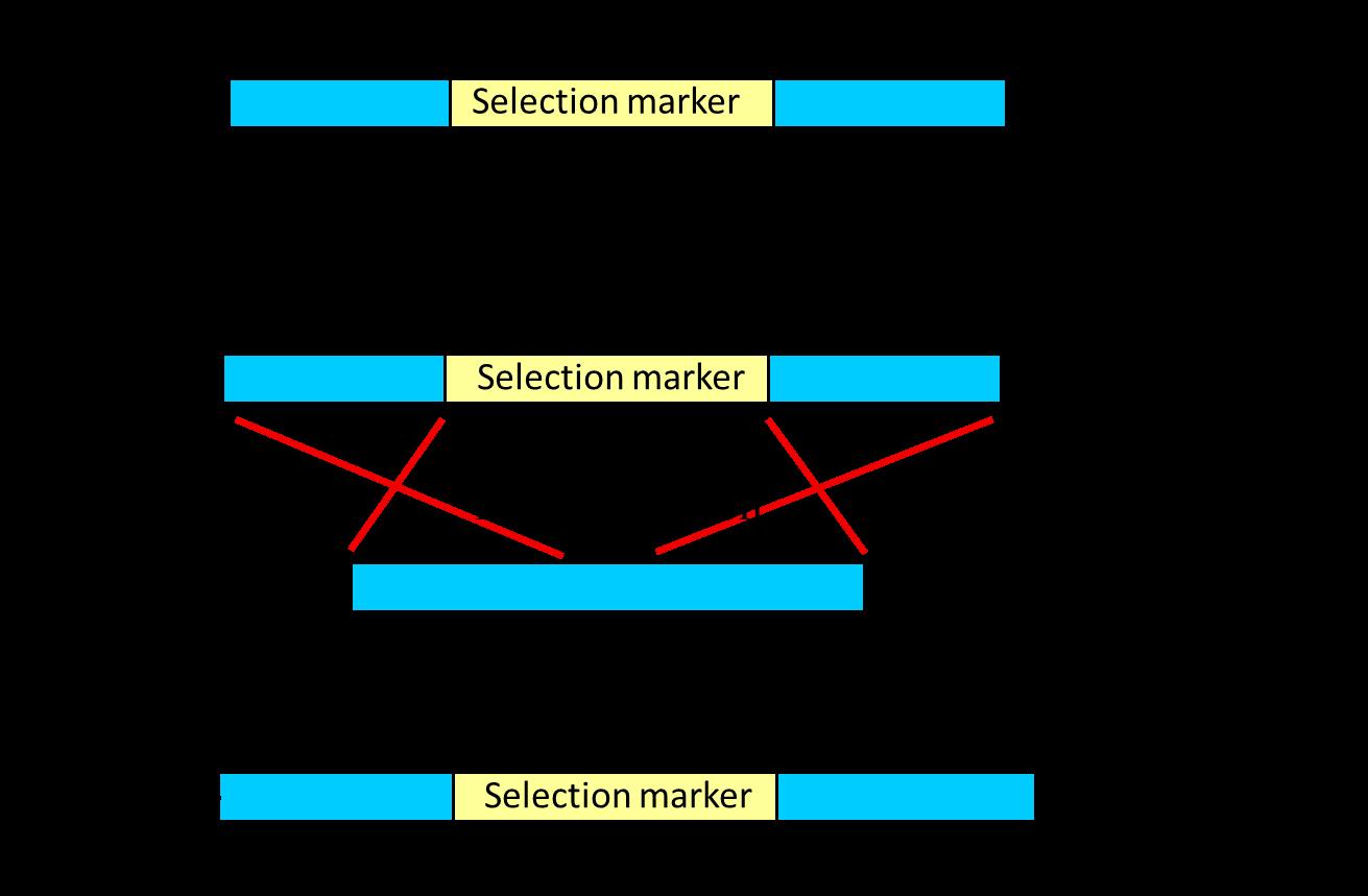 medium resolution of schematic diagram of principle of gene targeting