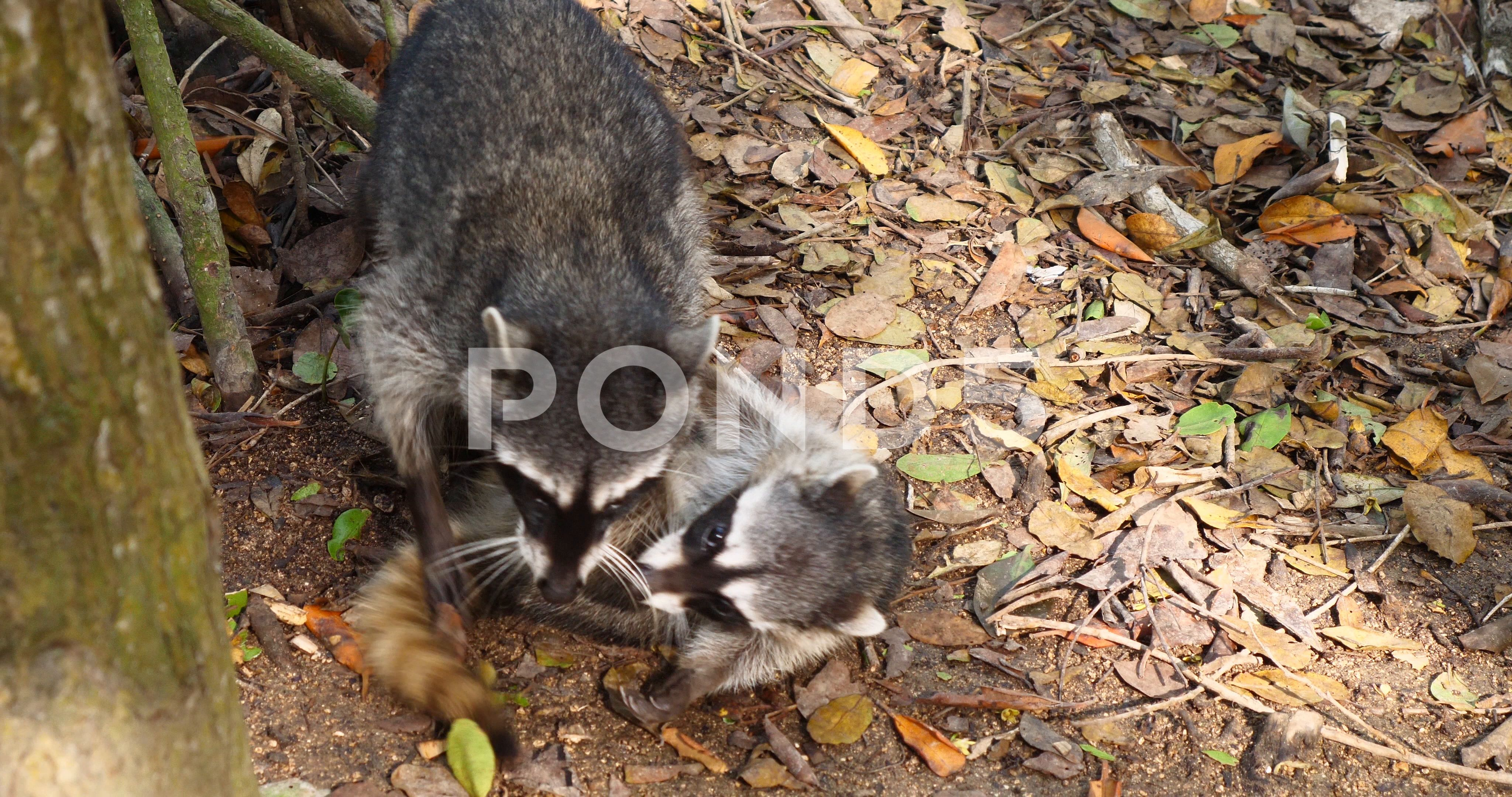 Wild Raccoon animals playing attack with baby raccoon