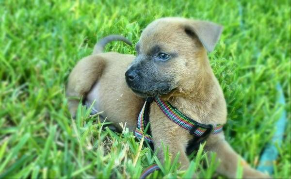 American Staffordshire Terrier Lab Mix Puppies For Adoption By