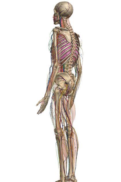 Zygote Body – 3D Human Anatomy | Pinterest | Human anatomy, Anatomy ...