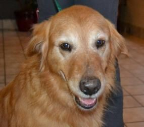 This is Beau - 8 yrs old. He is an owner surrender due to having too many dogs. He is potty trained, neutered, up to date with vaccinations and gets along with other dogs. Beua is looking for a forever home and is at Adopt A Golden Knoxville TN.