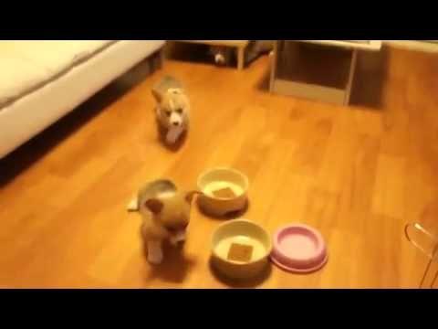 Corgi Puppies Breakfast Swarm Corgi Puppy Corgi Small Dogs