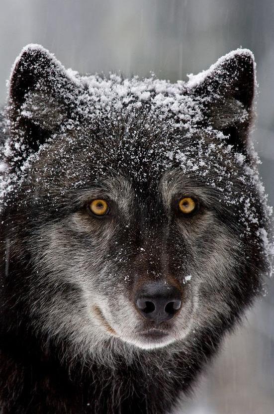 Il lupo nero sotto la neve bianca.