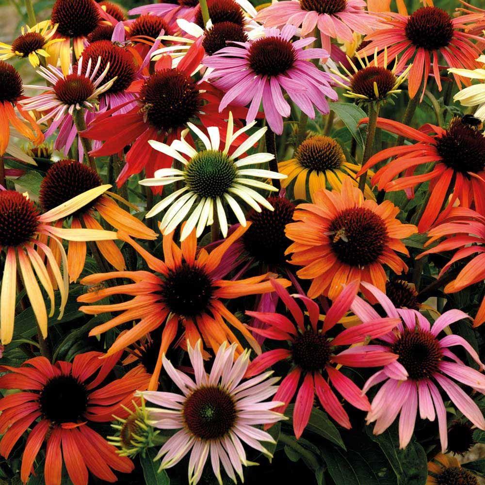 Echinacea X Hybrida 'Magic Box' Coneflower Flowers July