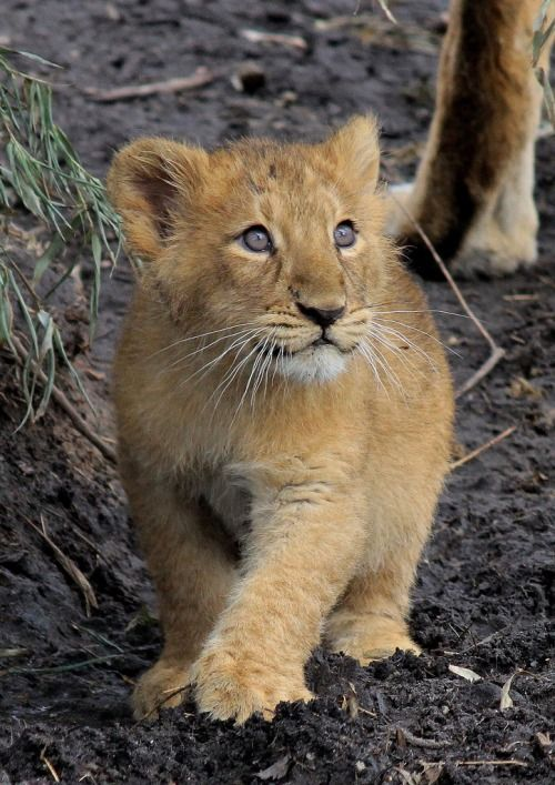 beauty-rendezvous:      llbwwb:    Asiatic Lion - 3 months old, and first time outside (by K.Verhulst on Flickr)
