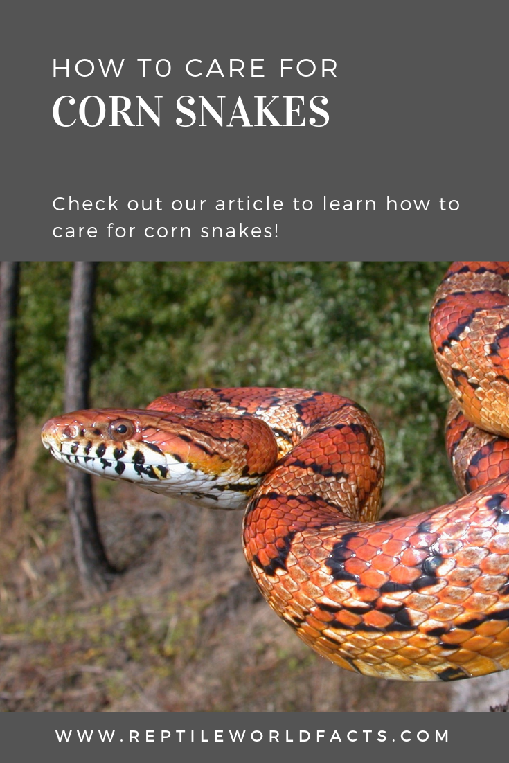 10 Things You Should Know Before You Get A Corn Snake Corn Snake Snake Pet Snake