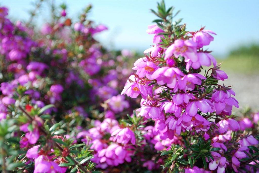 Bauera Rose Carpet --- For more Australian native plants ...