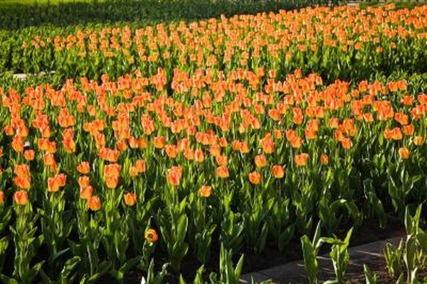 When To Plant Tulips In The Middle Southern States