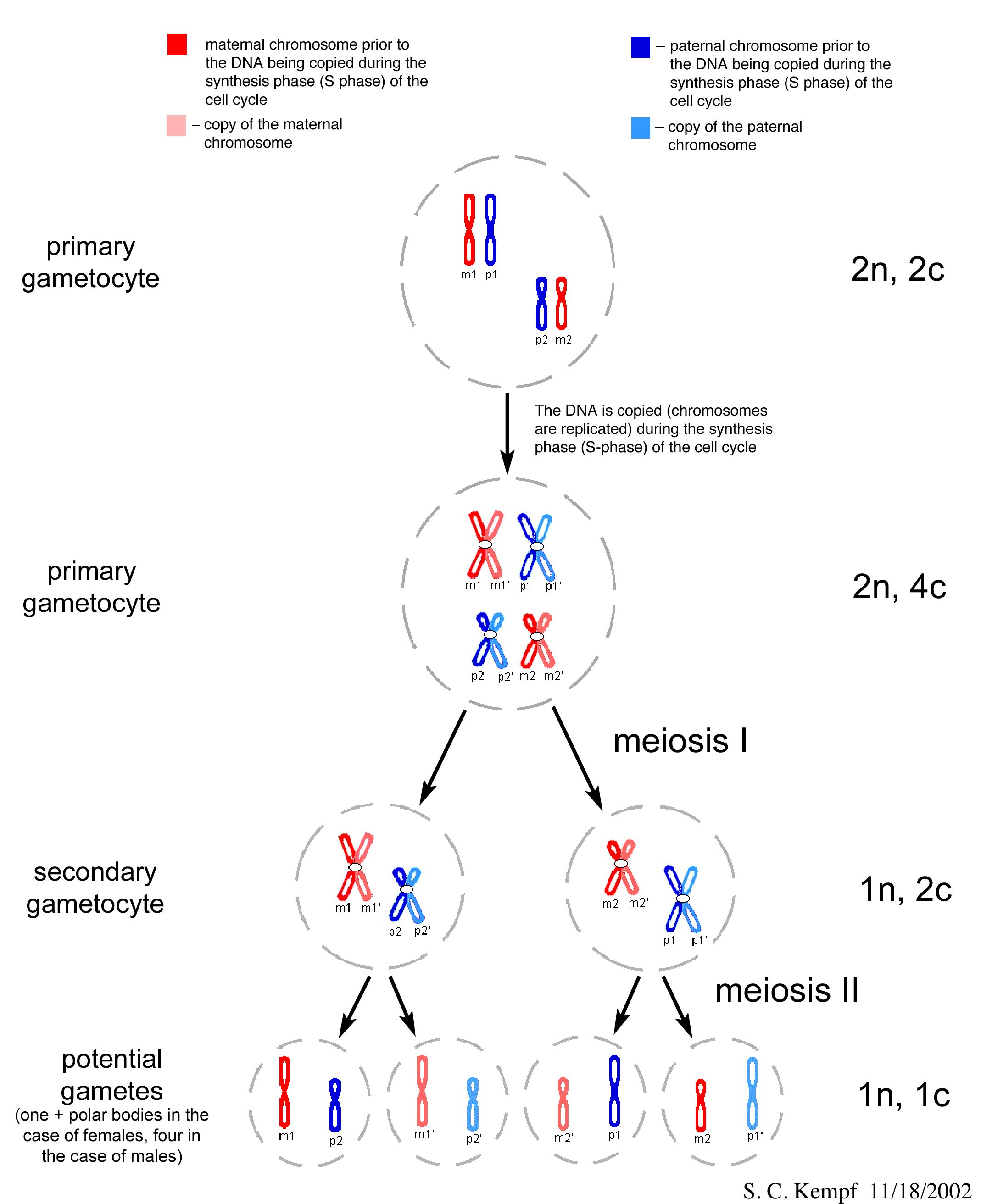 hight resolution of mitosis and meiosis comparison describing differences in ploidy in terms of genetic material n vs chromosome number c level bio 2 or college