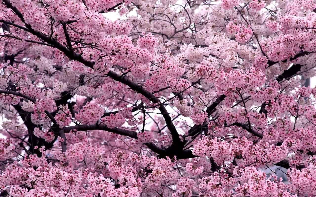 Beautiful Spring Blossom Tree Blossom Trees Cherry Blossom Tree Flower Landscape
