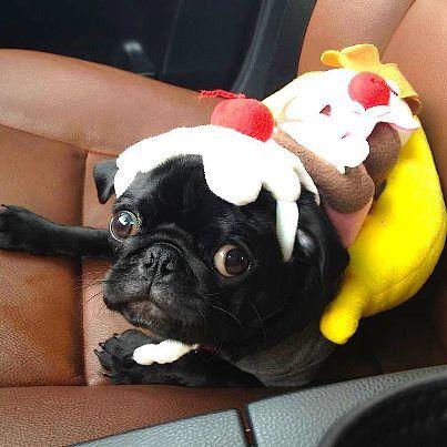 A Friend S Puppy Bella Modeling Her Halloween Banana Split